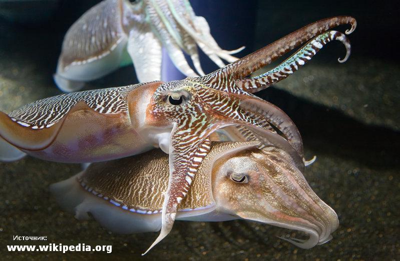 http://avstralianature.ru/img/pages/Восемь фактов о гигантской австралийской каракатице