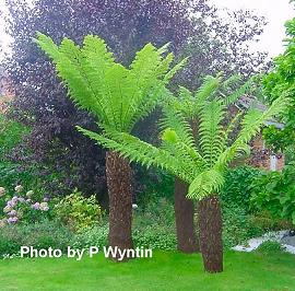 http://avstralianature.ru/img/pages/Австралийская (Южная) Циатея и Циатея Купера (Cyathea australis, Cyathea cooperi)