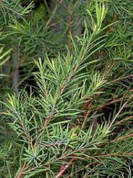 http://avstralianature.ru/img/pages/Чайное дерево