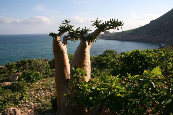 http://avstralianature.ru/img/pages/Бутылочные деревья