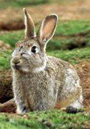 http://avstralianature.ru/img/pages/Дикий кролик в Австралии