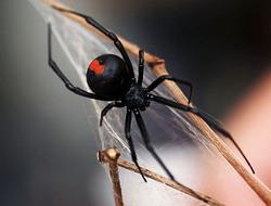 http://avstralianature.ru/img/pages/Красноспинный и лейкопаутинный пауки