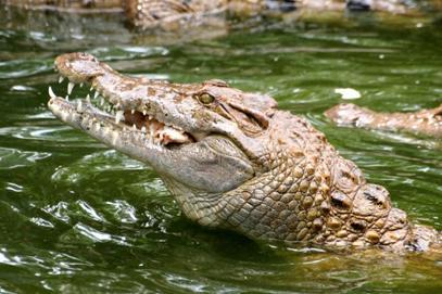 http://avstralianature.ru/img/pages/Морской австралийский крокодил