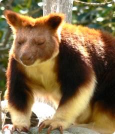 http://avstralianature.ru/img/pages/Валлаби – древесные кенгуру