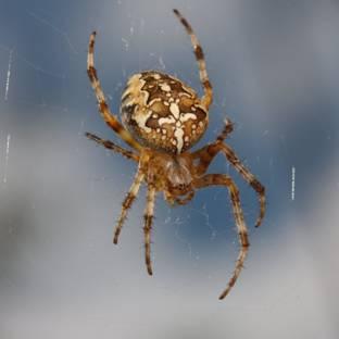http://avstralianature.ru/img/pages/Сиднейский лейкопаутинный паук – самый ядовитый обитатель Австралии