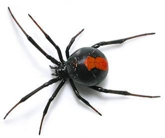 http://avstralianature.ru/img/pages/Австралийский красноспинный паук и безвредный тарантул
