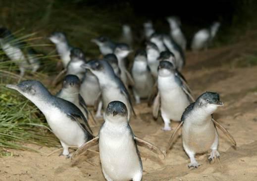 http://avstralianature.ru/img/pages/Австралийские пингвины