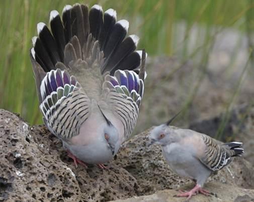 http://avstralianature.ru/img/pages/Бронзовокрылый голубь