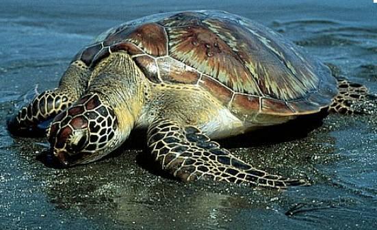 http://avstralianature.ru/img/pages/Зеленая Морская (Суповая) Черепаха