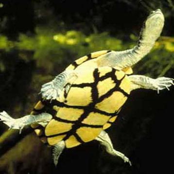 http://avstralianature.ru/img/pages/Гигантская змеиношейная черепаха