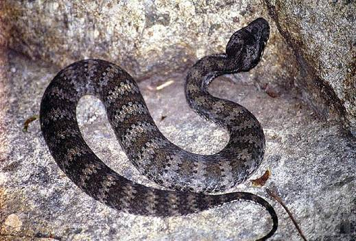 http://avstralianature.ru/img/pages/Смертельная гадюкообразная змея