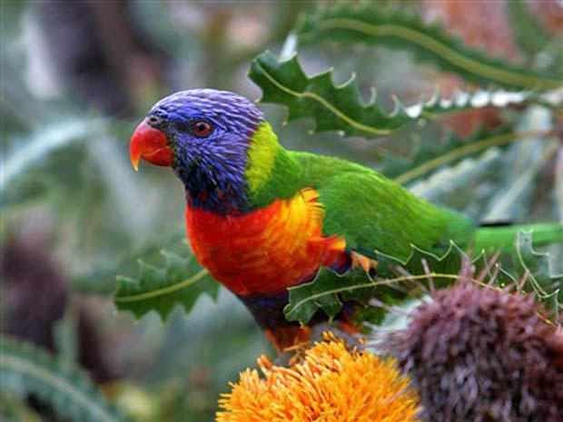 http://avstralianature.ru/img/pages/Австралийские попугаи
