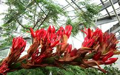http://avstralianature.ru/img/pages/Дориантес Палмера – чудо австралийской флоры
