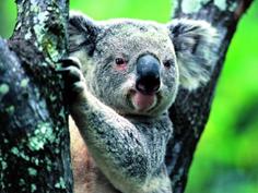 http://avstralianature.ru/img/pages/Коуну Коала - национальный парк