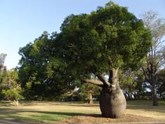 http://avstralianature.ru/img/pages/Брахихитон или бутылчатое дерево