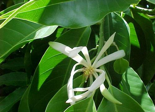http://avstralianature.ru/img/pages/Знаменитое сандаловое дерево.