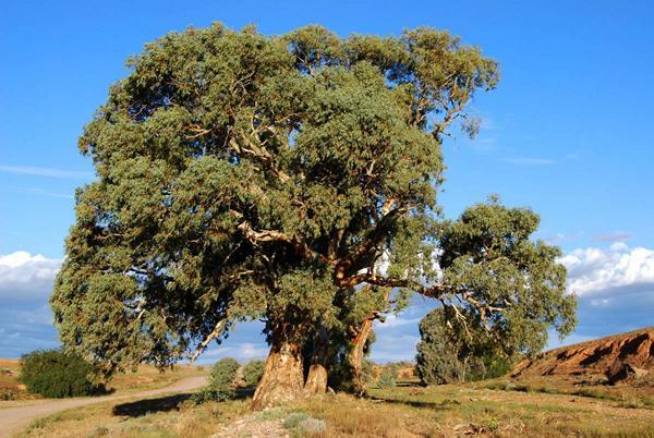 http://avstralianature.ru/img/pages/Иссушающие свойства австралийской флоры.