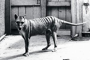 http://avstralianature.ru/img/pages/Почему вымер сумчатый волк?