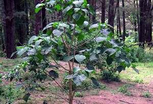 http://avstralianature.ru/img/pages/Жалящее дерево, как социальный тест Австралии.