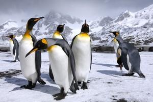 http://avstralianature.ru/img/pages/Королевский пингвин